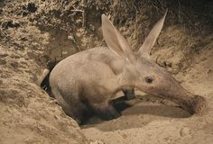 "The aardvark (Orycteropus afer) is a medium-sized, burrowing, nocturnal mammal native to Africa. It is sometimes colloquially called ""African antbear"", ""anteater"", or the ""Cape anteater"" after the Cape of Good Hope. The name comes from earlier Afrikaans (erdvark) and means ""earth pig"" or ""ground pig"" (aarde earth/ground, vark pig), because of its burrowing habits, but is not related to the pig."