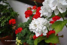 rote Geranien, weiße Hortensien