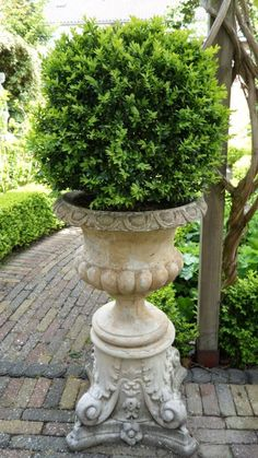 Growing with Plants: French Vase with boxwood.. #urn #containers
