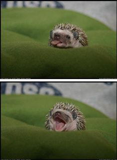 here is a hedgehog sticking out his tongue, just for you. #babyhedgehogs