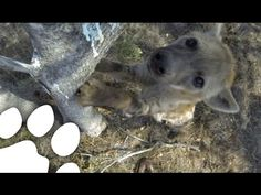 Hyena Steals a GoPro