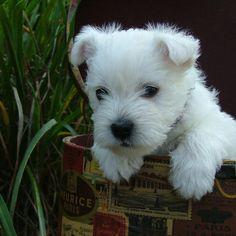 Savannah's puppy #westies #westhighlandterrier #cascadingwestiesofgeorgia…