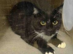 Gouda TO BE DESTROYED 12/11/16**Sweet cat, 4 months old, on death list today! If you would like to foster or adopt and can't make it to the shelter, please write an email NOW to the Urgent Help Desk at Helpcats@Urgentpodr.org Their experienced volunteers will assist you one-on-one with rescues and the application process. Transport can be arranged by rescues to the homes of approved fosters or adopters within 3-4 hours of New York City