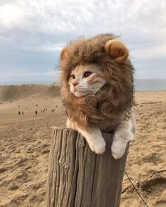 The lion cat 🦁 ~ Japan Photo: Congrats! 😍 ➡ Founders: ⬅ Tag your CUTE friend! Cute Baby Cats, Cute Little Animals, Cute Cats And Kittens, Cute Funny Animals, Kittens Cutest, Pretty Cats, Beautiful Cats, Lion Cat, Cute Cat Wallpaper