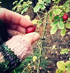Rose hips are the tart fruit of the rose plant. Learn all about foraging for rose hips and their edible and medicinal uses.