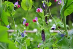 magnolia peas--they have dark purple pea pods and purple blossoms.