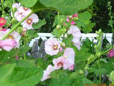 Hollyhocks are stately flowers that can add dramatic height elements in the garden growing to 8 ft in some cases.
