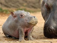 baby hippo pictures | Baby Hippo looking cute