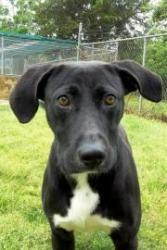 BUDDY is an adoptable Labrador Retriever Dog in Thomasville, GA.  ...
