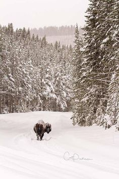 Buffalo Bison Road Closed Nature Western Wildlife Photography Winter Snow Wall Decor Wild USA Wyoming Cat Pentescu American Fine Art Photo by ImagesByCat on Etsy