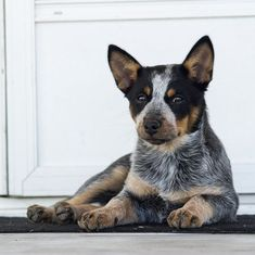 American Cattle Dog, Australian Cattle Dog, Cute Baby Sloths, Smartest Dogs, Easiest Dogs To Train, Herding Dogs, Family Dogs, Best Dogs, Dog Breeds