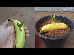 How to grow aloe vera in a banana | grow aloe vera faster - YouTube
