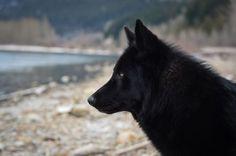 Beautiful wolf looking dog 2. This is an Alaskan Noble Companion Dog named Yarrow.