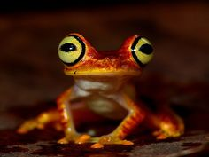 Hypsiboas picturatus by ProAves Colombia
