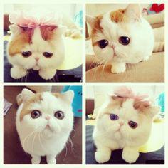 いいね!137件、コメント16件 ― Charlie Pearl  OFFICIAL PAGEさん(@misscharliepearl)のInstagramアカウント: 「The only cat I would ever want in the world! #KAWAII!!!」