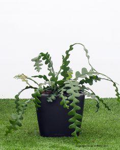 Epiphyllum anguliger Fishbone cactus