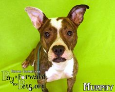 ADOPTED! Meet Murphy, a Petfinder adoptable Terrier Dog | Akron, OH | Magnificent Murphy ...Note:  Please keep in mind that all adoptable pets need time to decompress...