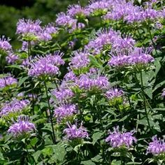 """Flower Garden Pink Bee Balm Seeds, Monarda fistulosa - This is the monarda with pink flowers and leaves famous for making tea. Also called """"Oswego Tea. Roses Pink, Purple Flowers, Blush Roses, White Flowers, Growing Flowers, Planting Flowers, Flower Gardening, Flowers Perennials, Flowers Garden"""