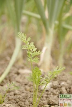 semer des haricots verts quand comment faire ses semis de haricot haricot vert semis et. Black Bedroom Furniture Sets. Home Design Ideas
