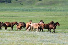 Les chevaux de Mongolie vivent en liberté au plus proche de leur comportement naturel - http://www.rando-cheval-mongolie.com/