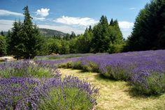 Sacred Mountain Lavender Farm, Saltspring Island