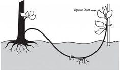Como fazer mergulhia. A mergulhia é uma técnica de multiplicação de plantas, semelhante à estaquia e alporquia, sendo que a mergulhia originou a alporquia, mas a segunda, ao invés de... Goat Farming, Bonsai, Roots, Nature, Plants, Diy, Home Decor, Gardening, Small Ponds