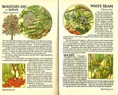 Rowan, White Beam and Hazel