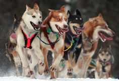 Warm weather has caused the famous Iditarod Race to relocate Monday's start point 225 miles north due to lack of snow. These resources offer a variety of learning opportunities for following the race with your class. http://www.educationworld.com/a_lesson/lesson103.shtml