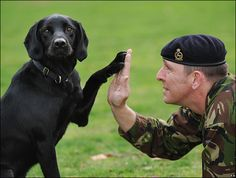 labradors and soldier - Google Search