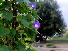 Pnącza - rośliny do zadań najtrudniejszych
