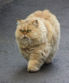 Largest persian cat in the world