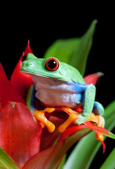 Red-Eyed Tree Frog...A Little Rainbow Treasure that God tucked away for us in His Creation! :)