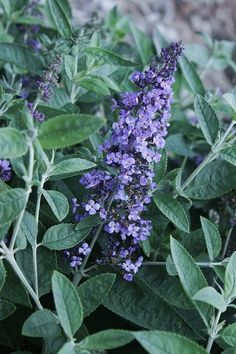 Buddleia Blue Heaven PP 22069