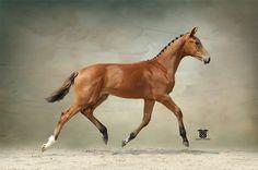 Joyland HF 2014 KWPN gelding by Rousseau x Flemmingh Dutch Warmblood, Warmblood Horses, Dressage Horses For Sale, Going Dutch, Horse Breeds, Draw, Poses, Animals, Figure Poses