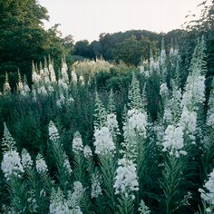 White flowers -- landscape design: Tom Stuart-Smith -- photo: Sabina Ruber