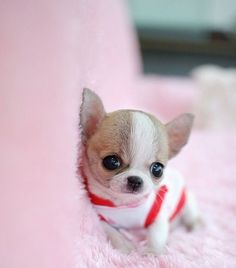 Chihuahua Dog Breed Information, Prices, Characteristics & Facts Chihuahua Puppies For Sale, Dogs And Puppies, Cute Songs, Pet Shop, Dog Pictures, Dog Breeds, French Bulldog, Corgi, Adoption