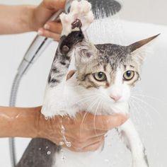 ¿Cómo bañar a un gato adulto por primera vez?. Los gatos tienen una fama bien ganada de ser animales sumamente higiénicos, y cualquiera que tenga un felino en casa y se halla detenido a observarlos podrá haber...