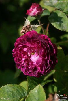 Hybrid China Rose: Rosa 'Miralba' AKA 'Chevrier' (Unknown origin, before 1834)
