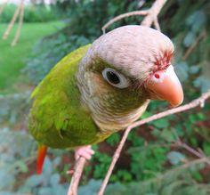 Cinnamon green cheek #conure playing outside - By: Annie Gavin