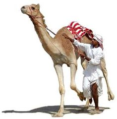 Camel-racing, a traditional sport, is extremely popular in the Emirates. It was originally staged in an informal setting, at weddings or special festivals, but now customized tracks have been built throughout the country where race meetings are held in the winter months from October to April, culminating in the annual camel race festival at Al Wathba which attracts entrants from all over the world.   Dromedary Racing Camel