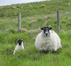 Glen Quaich/Scottish Highland Sheep 02.jpg