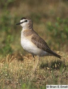 Mountain Plover..actually lives on flat land and unlike many Plovers, does not hang out near water.