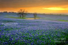 In this field of bluebonnets, I love the reflection of the sun on this pond.