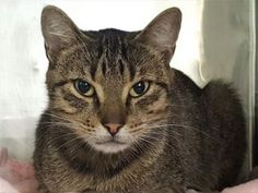***TO BE DESTROYED 11/03/17*** DUCKY is a 4 yr old kitty who is a bit upset someone dumped her at the shelter. She needs a place to call home where she can relax and regroup.