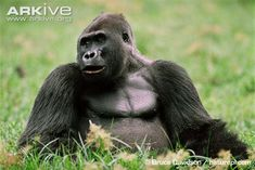 Western lowland gorilla sitting in clearing.  Critically endangered.