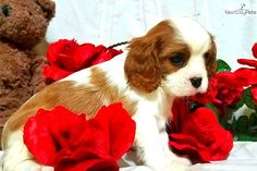 Cavalier King Charles Spaniel puppy for sale near Springfield, Missouri | b3a401e3-6801