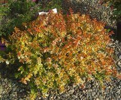 Flowering Shrub Abelia X Grandiflora Kaleidoscope Size