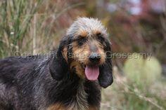 Griffon Nivernais #Puppy #Dog Unique Dog Breeds, Rare Dog Breeds, Popular Dog Breeds, Griffon Nivernais, Border Collie Mix, Hunting Dogs, Corgi, Puppies, Animals