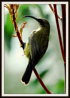 African bee eater.