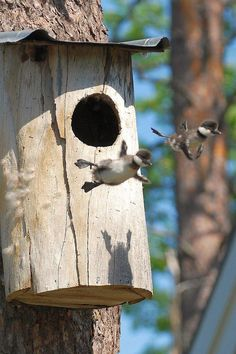 Baby birds flying out of their nest.